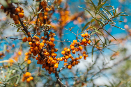 Sandthorn extract for young cattle